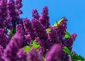Swallowtail butterfly on a deep purple lilac.