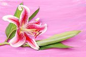 Lilly On Colorwash Background
