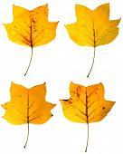 Tulip tree leaves