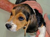 Beagle In The Bath
