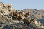 Desert Bighorn Sheep Flock