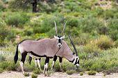 Gemsbok, Oryx Gazella In Kalahari poster