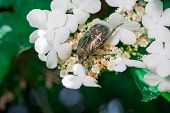 May Beetle Melonlotha In Spring In May On Fresh Leaves Of A Tree Pollinates Flowers poster