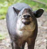 Tapir, A Large Herbivorous Mammal, Happily Eating Food poster