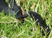 Red Bellied Black Snake (Pseudechis Porphyriacus)
