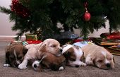 stock photo of christmas dog  - A litter of puppies in front of a Christmas tree