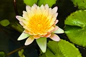 lotus from Thailand