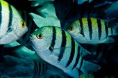 stock photo of sergeant major  - A group of Sergeant major fish - JPG