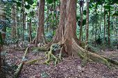 majestic tree trunks and roots in primary rain forest Australia Daintree nature reserve needs protection and conservation ancient tropical jungle