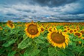Sunflower Landscape, Agriculture Field With Yellow Flowers And Dramatic Sky poster
