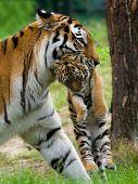Tigre siberiano con Cub