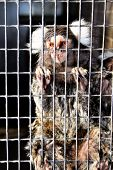 picture of marmosets  - Close - JPG