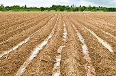 Yuca o mandioca planta campo
