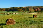 Hay Rolls And Sheep In Field