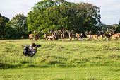 Wildlife Photographer Taking Photos Of Deer. Man With Camera  Taking Photo Of Wildlife poster