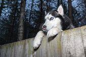 Siberian Husky Dog Looking Over Backyard Fence. Dog Peering Over Wooden Fence. Paws Husky Dog Over F poster