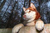 Husky Dog Looking Over A Backyard Fence. Dog Peering Over Wooden Fence. Paws Husky Dog Over Fence, B poster