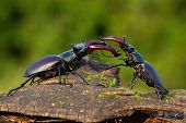 Majestic Stag Beetles Standing Against Each Other Ready To Fight poster