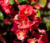 Japanese Quince Flowers. Chaenomeles, Small Red Flowers In Spring Time poster