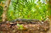 stock photo of goanna  - goanna lizard in undergrowth - JPG