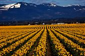Spring Yellow Daffodil Row Flowers Skagit Valley Washington State