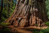 Middle Aged Woman Embracing The Base Of The Trunk Of A Giant Tree, Sequoiadendron Giganteum, At Cala poster