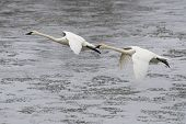 foto of trumpeter swan  - Pair of Trumpeter Swans about to land in an icy river  - JPG