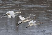 stock photo of trumpeter swan  - Trio of Trumpeter Swans about to land in an icy river - JPG