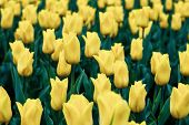Field Of Yellow Tulips. Springtime Season, Flower Background. Floral Wallpaper. Blooming Backdrop poster