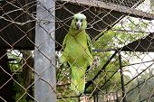Curious Green Parrot