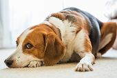 A Tricolor Beagle Mixed Dog Is Lounging Around The Living Room Resting His Head On His Paw. poster
