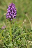 Irish Marsh Orchid