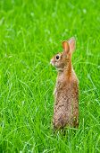 Wild Rabbit Standing Up In A Green Meadow