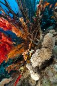 foto of hawkfish  - Longnose hawkfish and tropical reef in the Red Sea - JPG