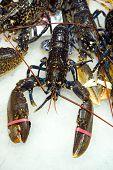 Lobster For Sale