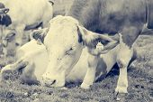 Portrait Of Cows Lazily Resting On Mountain Pasture. poster