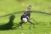Dot-tailed Whiteface Dragonfly on a Lily Pad