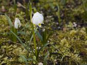 Young Snowdrops (galanthus) On A Meadow In Springtime poster