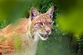 The Eurasian Lynx (lynx Lynx), Portrait. Eurasian Lynx Portrait. Lynx Portrait Insite The Greenery. poster