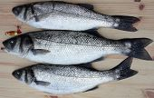 picture of fighter-fish  - freshly rod caught sea bass - JPG