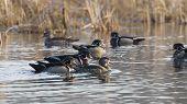 Wood Duck Flock