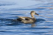 Swimming Gadwall