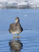 image of gadwall  - Drake Gadwall standing on thin clear ice - JPG