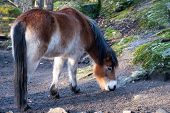 A Beautiful Brown Horse, A Swedish Breed, Gotland Pony (also Called Gotland Russ), Grazing Outdoors. poster