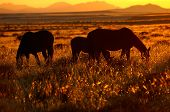 Wild Horses Of The Namib