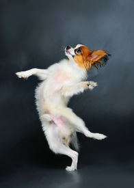 stock photo of chiwawa  - pappion puppy dancing against dark background studio shot - JPG