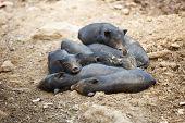 Black Piglets In Heap