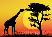 Giraffe in National park. Africa savanna.Landscape.