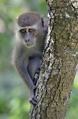 Sad looking long-tailed macaque monkey