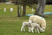 picture of spring lambs  - The English countryside in spring with lambs sheep and cricket